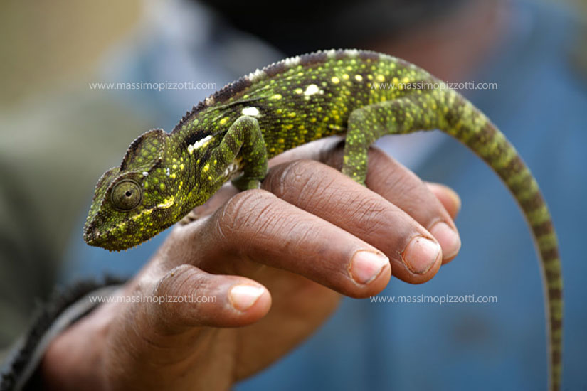 Madagascar, Countryside, Chameleon on the hand